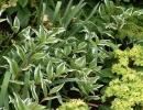 Купена среди других растений