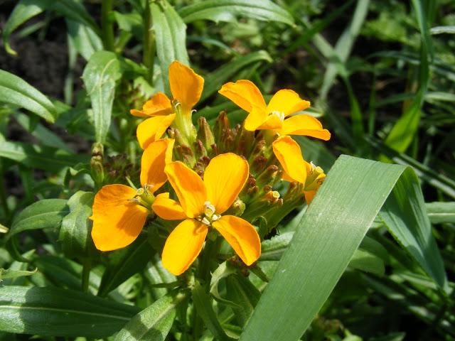 Цветы лакфиоль посадка и уход фото