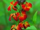 Цветок лакфиоль