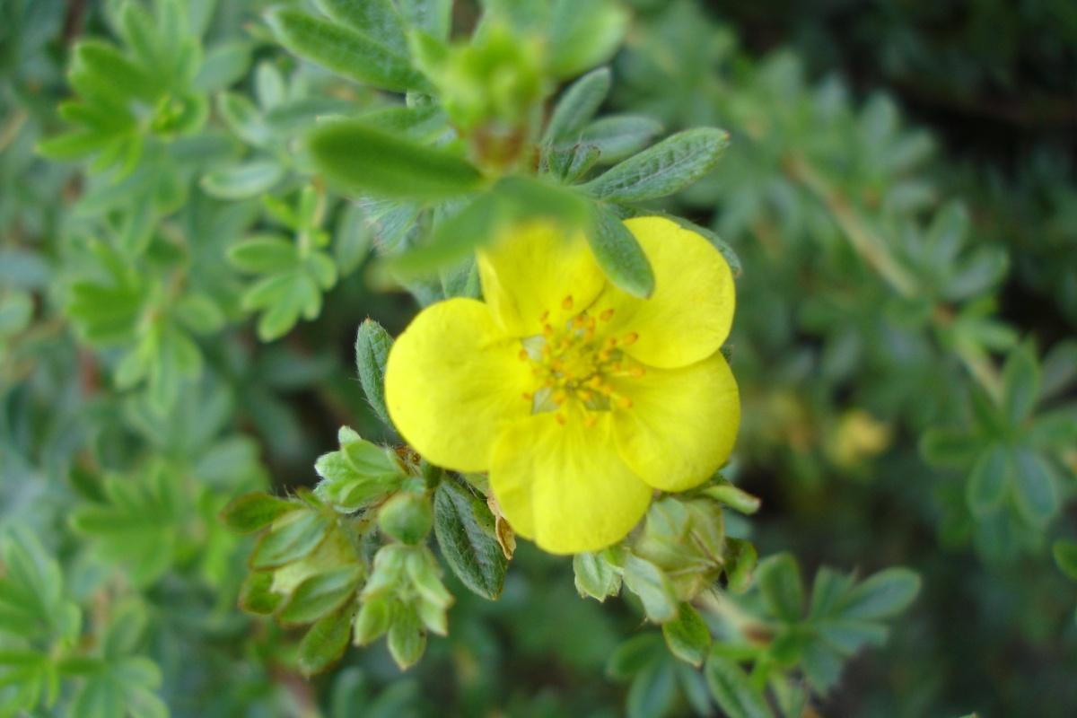 Лапчатка или пятилисточник: выращивание и уход, размножение и популярные сорта