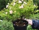 Лапчатка кустарниковая