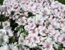 Цветущий куст лаватеры