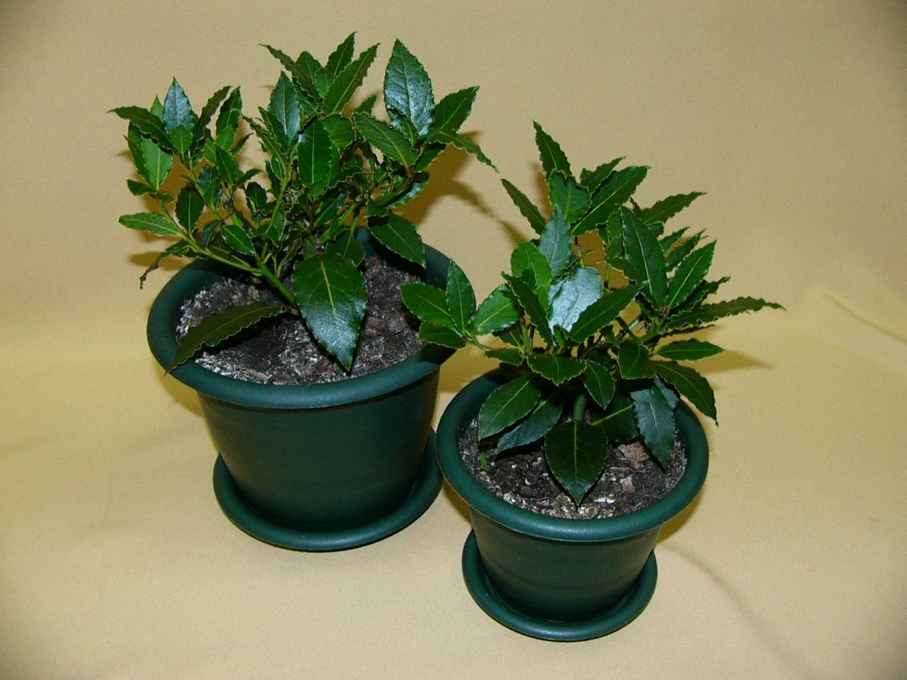 Комнатные растения: Фиалки 26