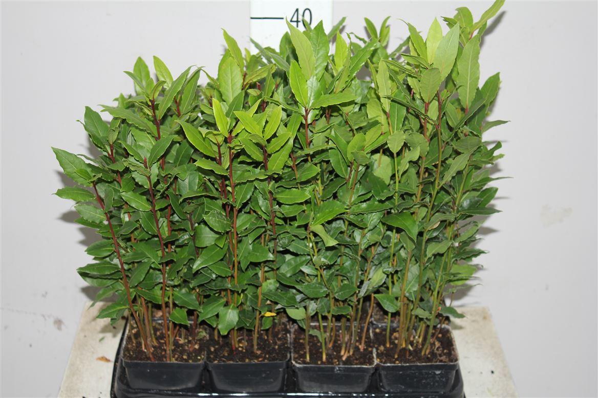 Выращивание лаврушка 4