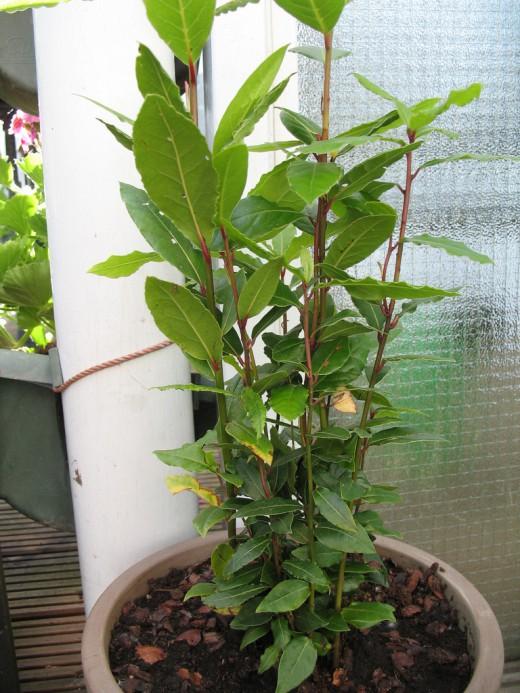 Лавр уход и выращивание в саду 21