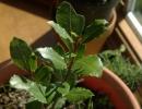 Комнатное растение Лавр