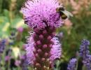 Пчела на цветке лиатриса