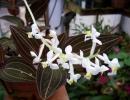 Фото орхидеи лудизия