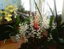 Орхидея лудизия
