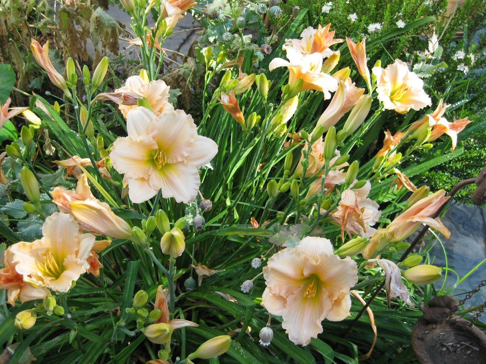 Лилейники выращивание и уход фото