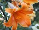 Трубчатые лилии Африкан Куин