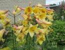 Трубчатые лилии Голден Сплендор