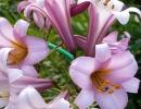 Трубчатые лилии Уайт Планет