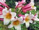 Трубчатые лилии Регале