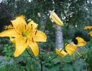 Тигровая лилия Цитронелла