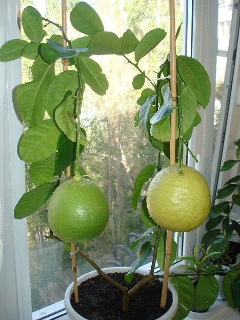 Лимон пандероза уход в домашних условиях