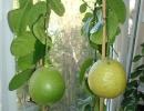 Лимон Канадский «Пондероза»