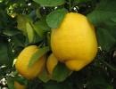 Лимон Лисбон