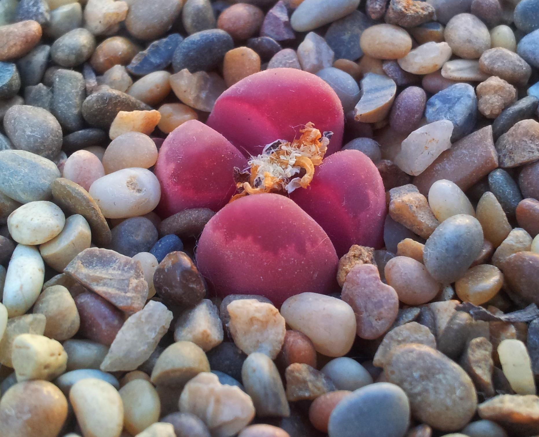 Купить литопсы титанопсисы фаукарии плейоспилосы