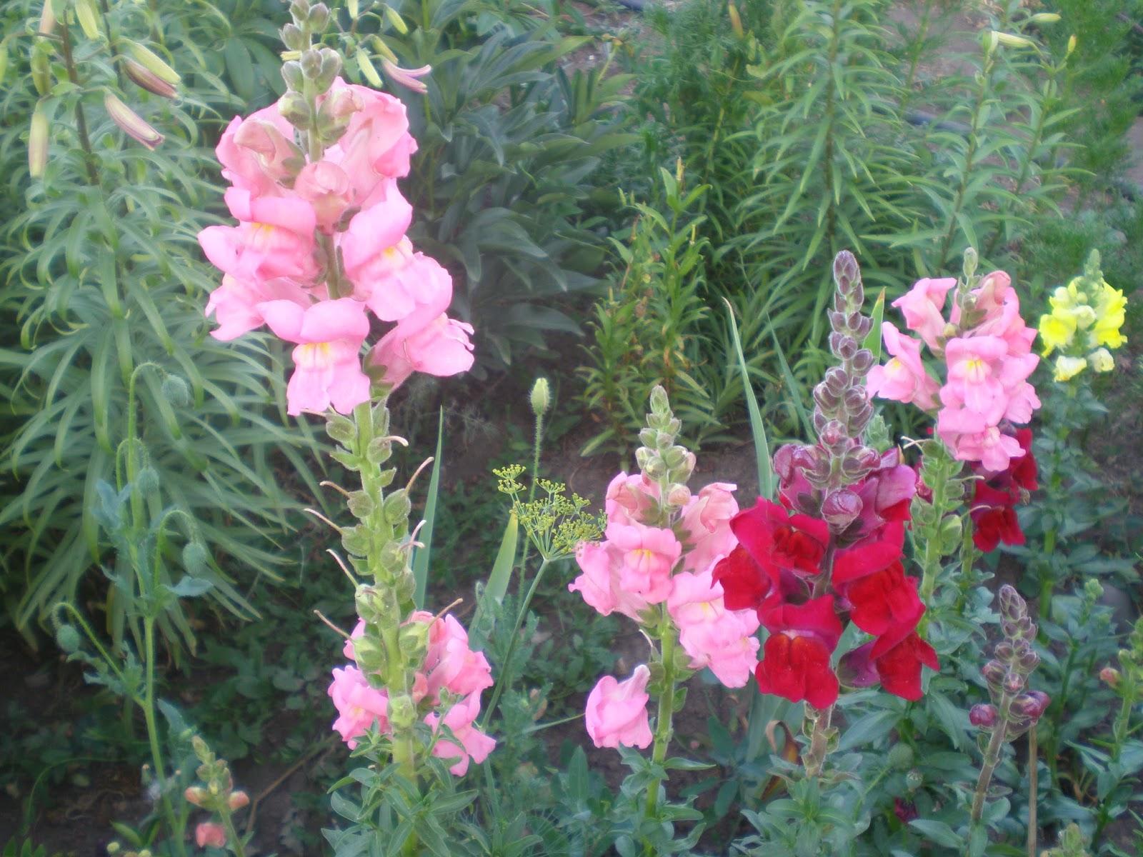 Цветок львиный зев он же