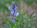 Люпин синий (узколистный)