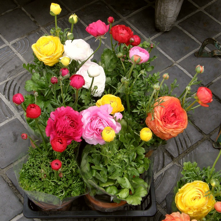 Ранункулюс садовый лютик, выращивание, уход, фото 5