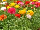 Лютики в саду