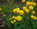 Лютики в саду с фото