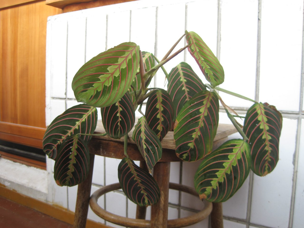 комнатные растения названия и фото марантовые