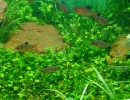 Марсилия аквариумная
