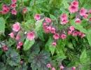 Розовая медуница