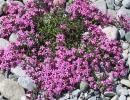 Розовые цветы мыльнянки