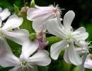 Цветы мыльнянки