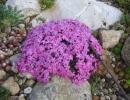 Розовая мыльнянка среди камней