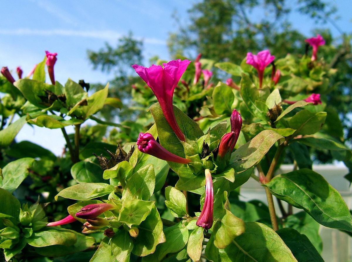 Цветок ночная красавица (мирабилис посадка и уход, фото) 61