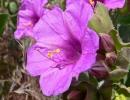 Цветок фиолетового мирабилиса