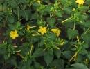 Желтый мирабилис