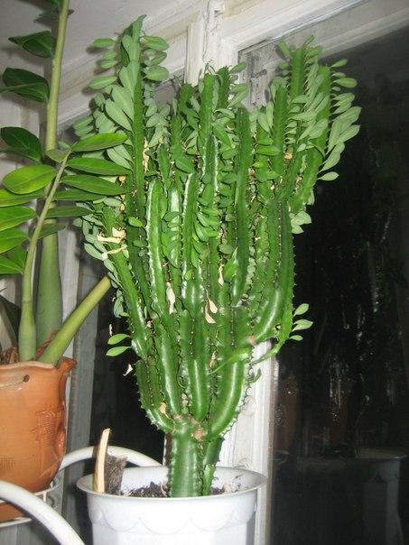 Комнатное растение молочай: уход, размножение и пересадка в домашних условиях, популярные виды (+фото)