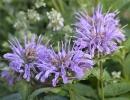 Цветок монарда в саду