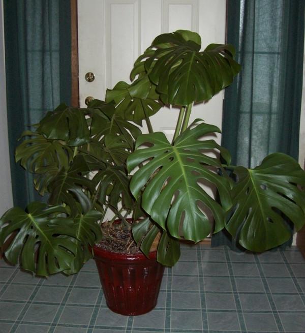 комнатные растения монстера  уход