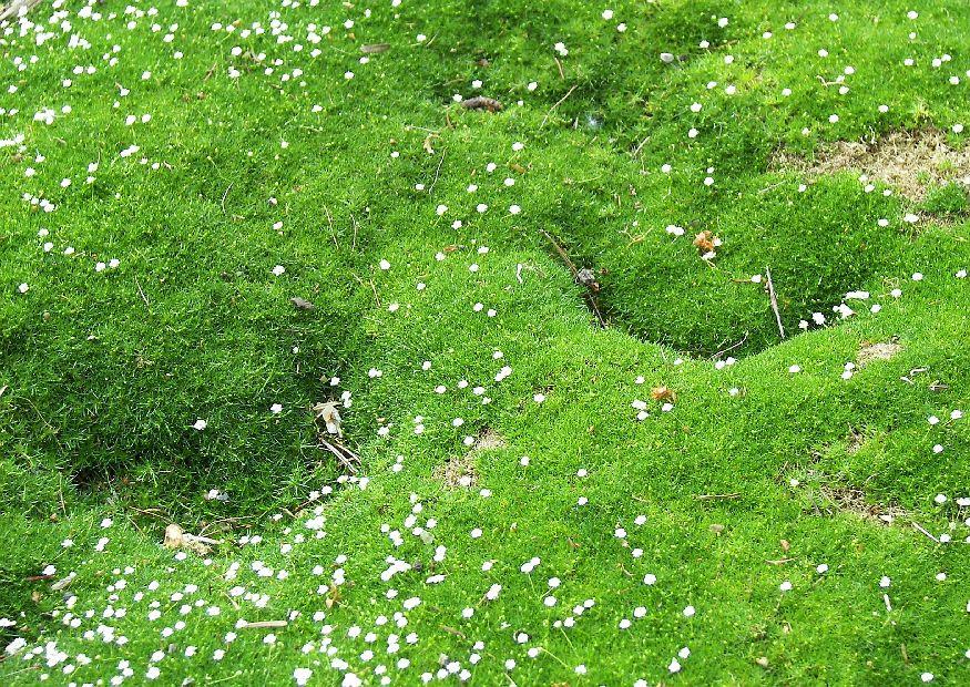 Мшанка шиловидная выращивание из семян в открытом грунте 73