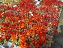 Цветы Мимулюса
