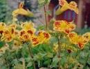 Мимулюс первоцветовидный