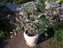 Растение Мурайя