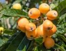 Плоды мушмулы японской