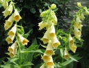 Наперстянка желтая (Digitalis lutea)