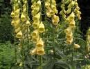 Наперстянка крупноцветковая (Digitalis grandiflora)