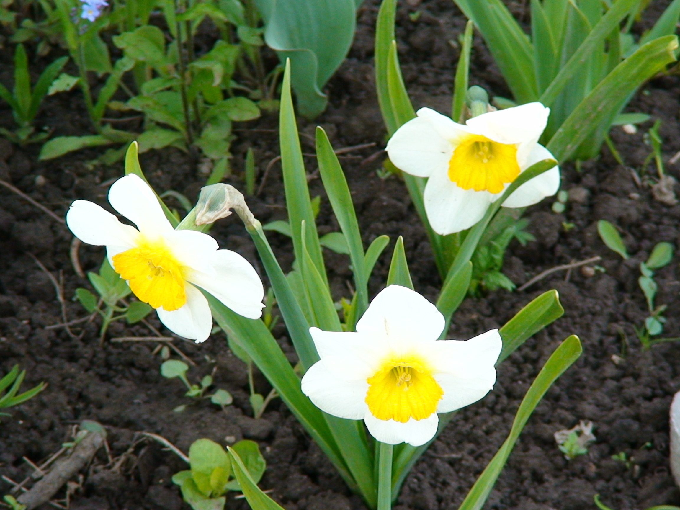 Когда сажать нарциссы: весной или осенью Выбираем месяц высадки луковиц нарциссов