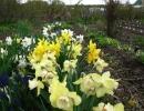 Нарциссы на огороде