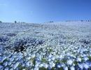 Поле цветов немофила